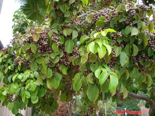 chữa viêm âm đạo do trùng roi bằng cây nhội